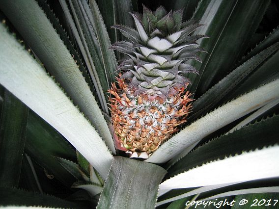 Spanish Samoa pineapple fruit developing after flowering stage.