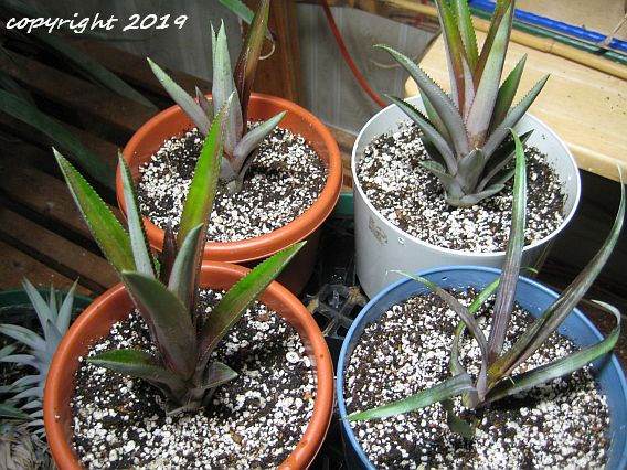 Newly planted offshoots