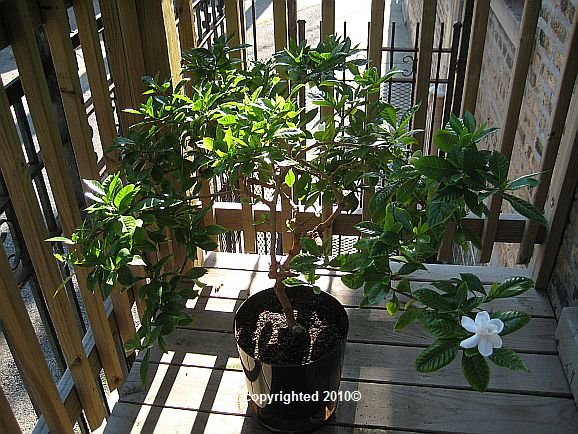 2010 Gardenia jasminoides ' Vetchii ' in bloom on my backporch