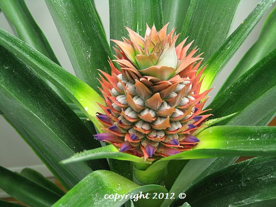 Gold Extra Sweet pineapple plant in flower