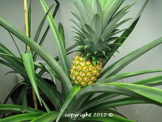 Gold Extra Sweet pineapple plant with ripe fruit