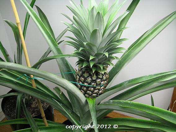 Gold Extra Sweet pineapple plant with fruit