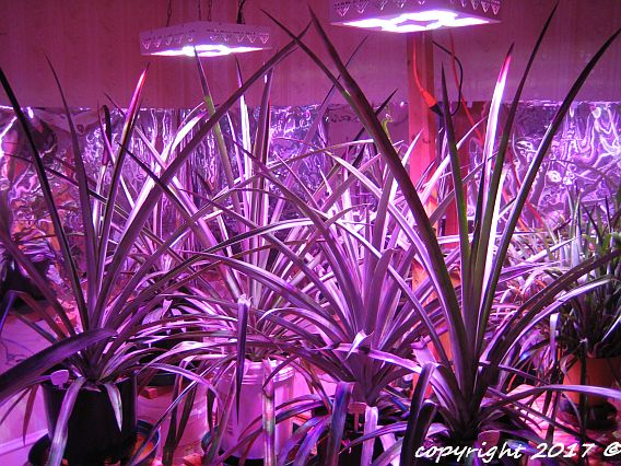 Group B pineapples growing under LED lights