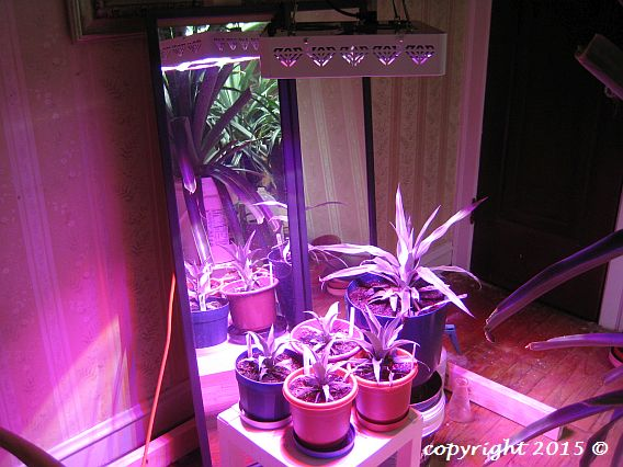 Pineapples growing under LED lighting