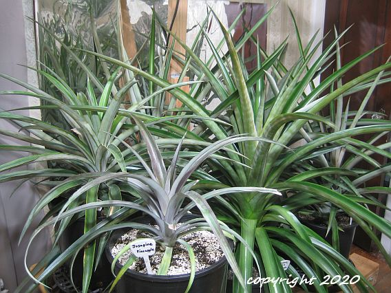 Six pineapple varieties