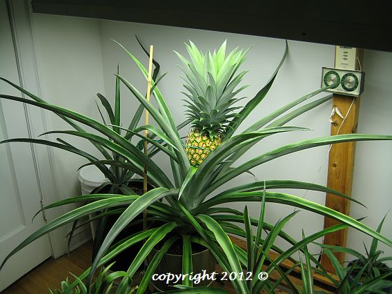 Growing Pineapples Indoors At Indoorpineapplegrowers Org