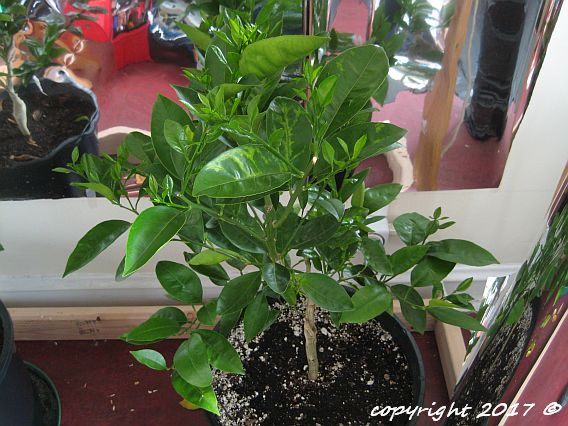 Calamondin and Trovita Orange